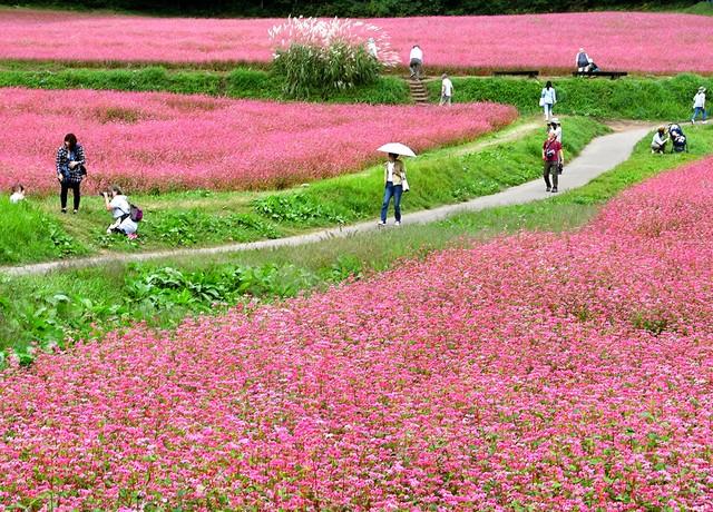 長野‧箕輪町紅蕎麥盛開 宛如紅豔絨毯正值最佳觀賞期