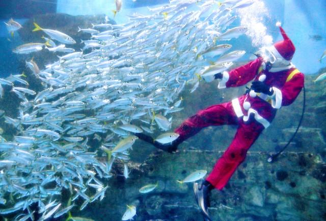 橫濱八景島海島樂園魚兒也過耶誕 耶誕老人入水槽送飼料