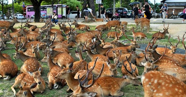 酷暑中奈良百頭鹿群聚博物館前打瞌睡 理由不明