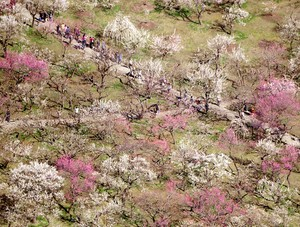 水戶‧偕樂園梅景正盛 較往年提早迎來最佳賞期(影片)