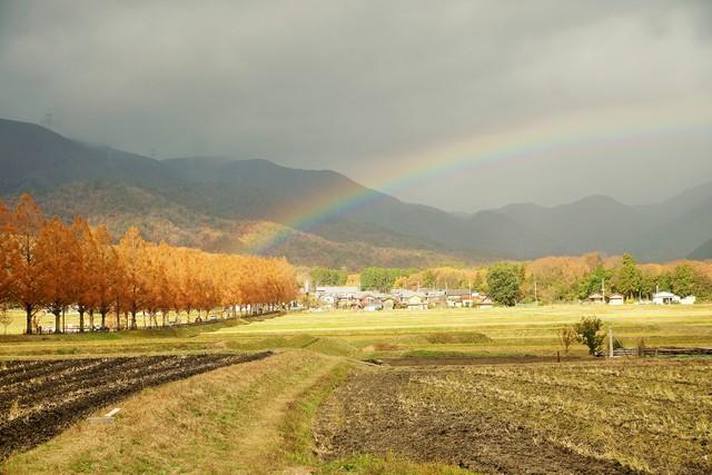 滋賀·水杉林蔭道金黃閃耀 「高島時雨」所贈彩虹共譜美景