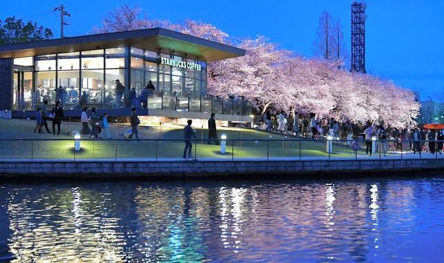 「全球最美」星巴克引發熱烈迴響 櫻花樹下品嚐香醇咖啡