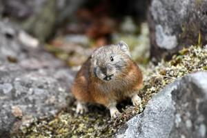 「冰河時期遺留的生物」 蝦夷鳴兔北海道忙過冬(影片)