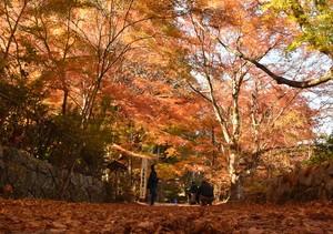 滋賀‧長壽寺「紅葉隧道」正盛 染上紅黃色彩的療癒景點(影片)