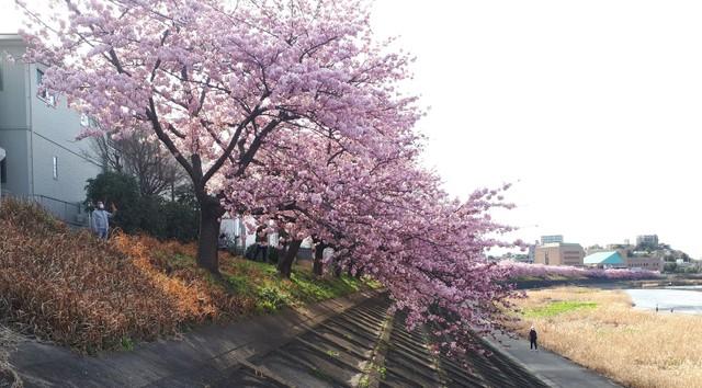 「即使這種時候櫻花仍綻放」 愛知·岡崎早開河津櫻盛開