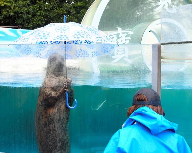 撐傘海豹可愛模樣吸引遊客 拯救一度休館水族館