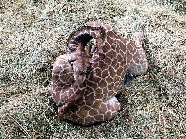 以背為枕蜷起長長脖子 長頸鹿寶寶大膽又香甜的睡姿
