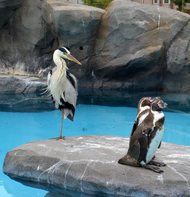 1天光顧2次的「不速之客」 企鵝食物被搶好困擾(影片)