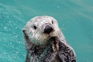 海獺表演高速旋轉 因疫情而無觀眾的水族館錄下影片(影片)