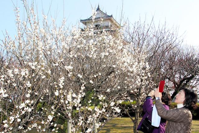 長崎‧島原城梅花開始綻放 花香美景吸引遊客拍照留念