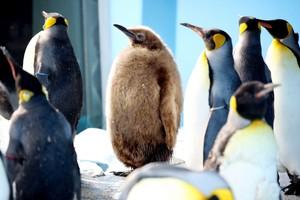 毛茸茸的國王企鵝頭好壯壯 全球首次藉人工授精孵化(影片)