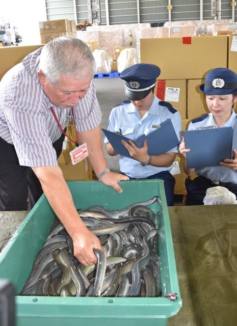 「土用丑日」即將到來 成田機場鰻魚進口迎高峰