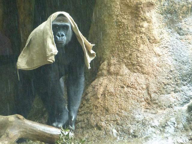 一下雨就會用麻袋披頭… 東京‧上野金剛猩猩妙舉成話題
