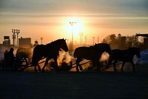 北海道‧帶廣輓曳賽馬鍛鍊受歡迎 朝陽下閃耀馬的氣息(影片)