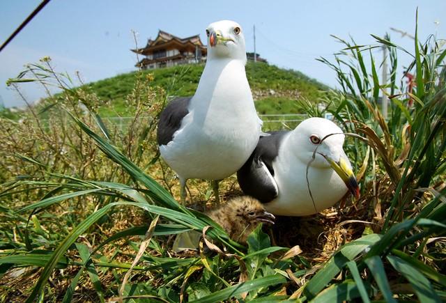 青森縣國家天然紀念物「蕪島」 孕育出珍貴的黑尾鷗寶寶