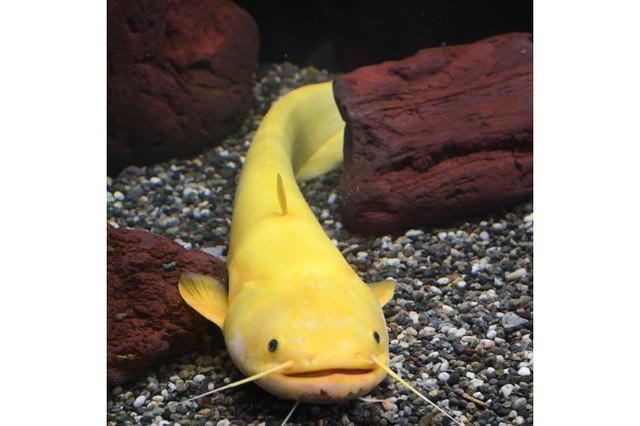 稀有的「強運」黃金鯰魚 亮相鳥取螃蟹館引發關注