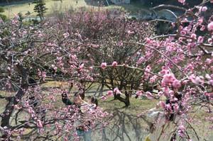 山口‧光市梅花祭因暖冬提早盛開 與瀨戶內海共譜美景(影片)