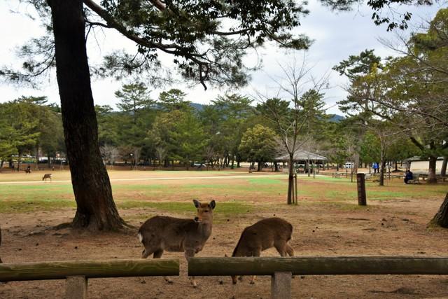 新型冠狀病毒疫情重創奈良觀光 公園內不見往日餵鹿人潮