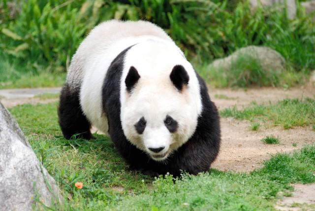 王子动物园的大熊猫·旦旦(由王子动物园提供)