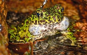 聆聽「日本第一美蛙」悅耳叫聲 宛如鳥鳴響徹夜間溪流(影片)