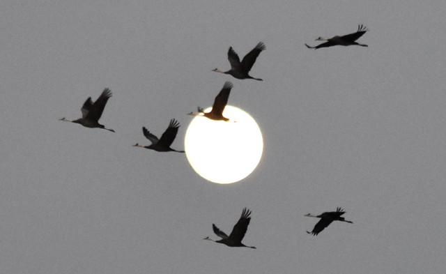 新年伊始 超级月亮下万鹤高飞