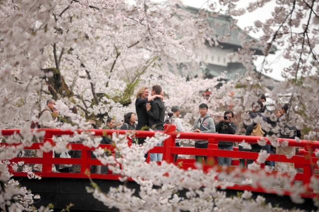 「因為櫻花很美...」 訪日情侶盛綻櫻花中求婚喜淚交織