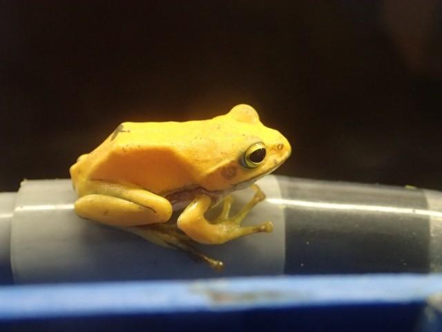 全身「幾近金黃色」的青蛙 三重‧志摩海洋公園展示中