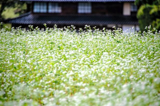 富山·純白蕎麥花盛放 如雪花般點綴綠野成美景
