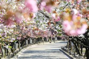 等待疫情平息的春季風情 空拍大阪造幣局櫻花通道(影片)