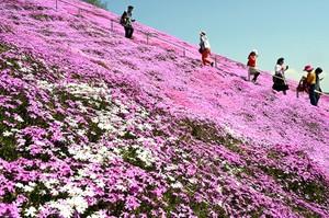 北海道芝櫻綻放美不勝收 亞洲遊客慕名而來(影片)