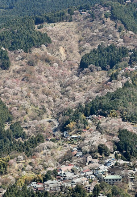 吉野山「一目千本」櫻花盛開 下週末前均為最佳賞期(影片)