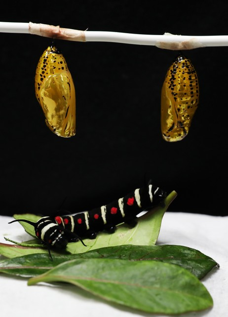黑白斑紋的「大白斑蝶」 擁有閃亮亮的金黃色蝶蛹期
