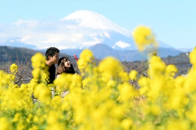 神奈川·吾妻山公園美景正盛 6萬朵油菜花與富士山齊爭艷