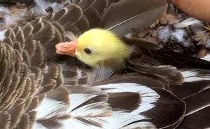 從羽毛中探出頭來賣萌 鵝寶寶可愛模樣網上人氣夯(影片)