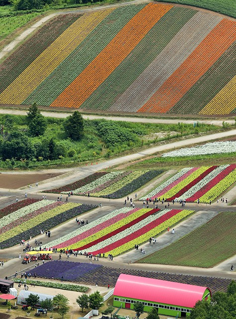 年年揮灑不同的夏季色彩 北海道‧美瑛「四季彩之丘」