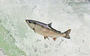 跳過4公尺高瀑布產卵路迢迢 來北海道看櫻鮭逆流而上(影片)