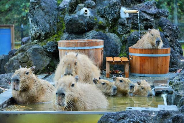 「水豚溫泉」今年也開泡♨ 埼玉·兒童動物自然公園療癒登場