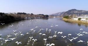 青森・平内町天鵝過境 無人機空拍齊飛美景(影片)