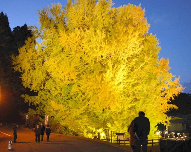 青森·深浦町日本最大銀杏 夢幻金黃美景迎來最佳觀賞期