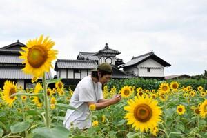 高知‧野良鐘前向日葵盛開 2萬株花朵交織懷舊美景(影片)