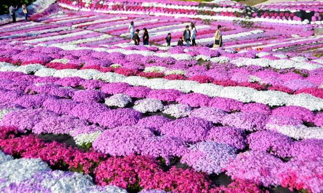 北海道休耕田化身美麗花圃 超過30種芝櫻齊綻放