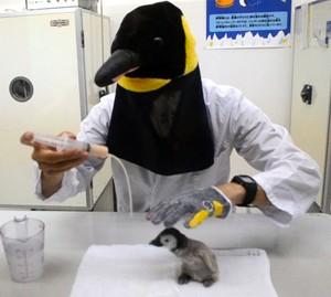 和歌山企鵝寶寶出生 飼育員下足苦心扮成親鳥餵食(影片)