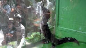 淋水時會如恐龍般雙腳站立 鱷魚「大五郎」人氣旺(影片)