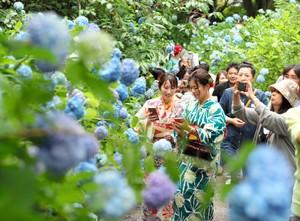 鎌倉‧日本古有繡球花盛開 「明月院藍」點綴梅雨時分(影片)