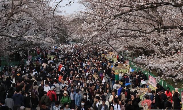 賞櫻季正式報到 東京‧上野公園盛開景致吸引大批人潮