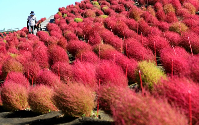 千葉・袖浦市紅色掃帚草挺過颱風 目前正值最佳觀賞期