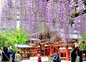 世界遺產·京都平等院 紫藤花簾美不勝收(影片)
