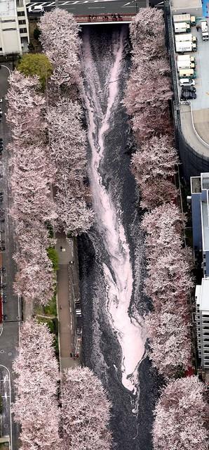 東京・目黑川櫻花紛飛 花瓣散落河川形成「粉紅之龍」(影片)
