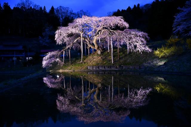 福島樹齡200年的枝垂櫻盛開 倒映水面景致如夢似幻