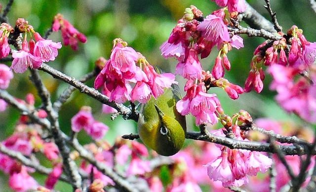 南島已有春天氣息 鹿兒島‧奄美大島緋寒櫻開花綻放